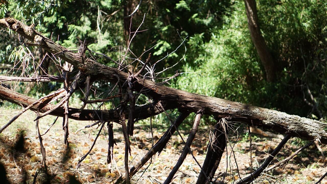 台風でで倒れた木